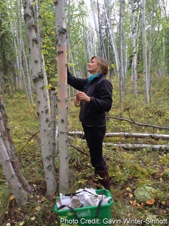 collecting birch paper